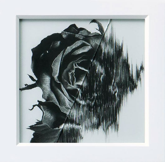 Taisuke-Mohri-Rose-3